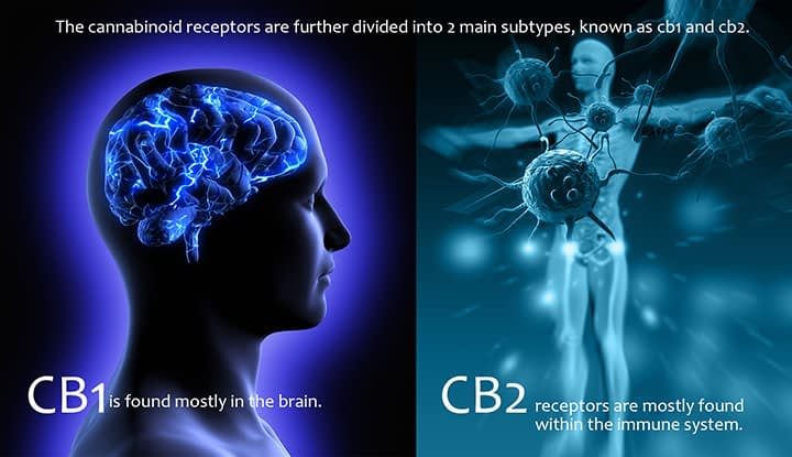 CB1 and CB2 cannabinoid receptors