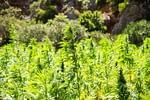 Legal Hemp plants